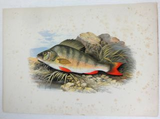 The British Fresh-Water Fishes. [Illustrated with a coloured figure of each species, drawn from nature by A.F. Lyon] Plates only.